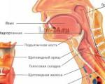 Строение горла, гортани и глотки человека, их анатомические особенности, функции, возможные заболевания и травмы
