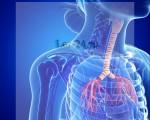 Что такое трахея, строение и функции трахеи человека