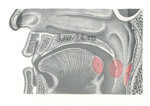 rak glotki